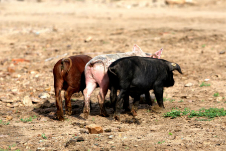 猪价开始上涨!新一轮的涨价风真的来了吗?