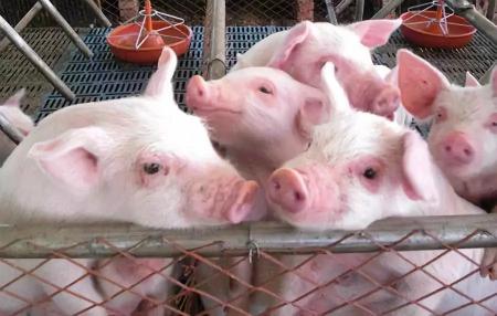 猪价低迷加速行业洗牌,生猪养殖行业现状分析!