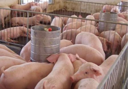 大企业养猪成本5元,你为什么不行?因为这5点