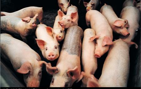 2018年05月21日(20至30公斤)仔猪价格行情走势