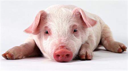 2018年05月19日(15至19公斤)仔猪价格行情走势