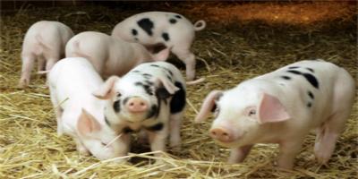 养猪上市企业逆市砸钱!一旦猪价回升,巨头们将获得更大市场份额