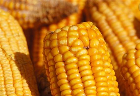 2018年05月20日全国玉米价格行情走势汇总