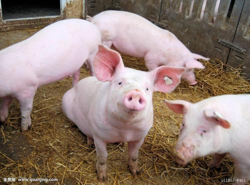 2018年05月19日(10至14公斤)仔猪价格行情走势