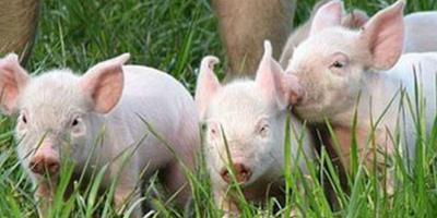 猪价连连涨!农村农业部却说要警惕市场风险?