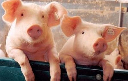 中美贸易战和解!接下来猪价会怎样?