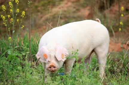 猪发烧了?养猪朋友千万不要慌!