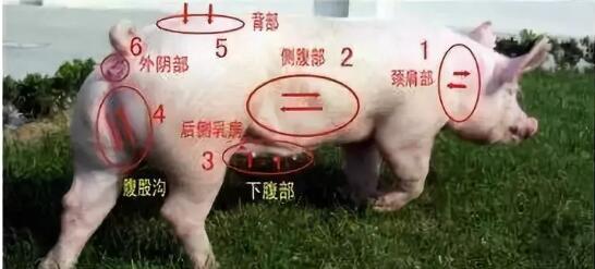 技术控|夏季猪场查情配种要点!!!