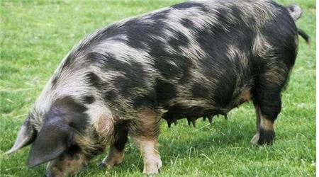高能!这些猪场效益小偷正在影响母猪的繁殖机能!