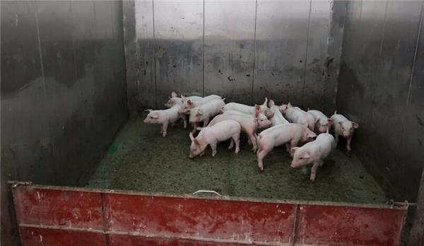 3、这些专门养猪的大楼里配备了各种运输饮水、食物以及粪便处理的管道以及各种生猪养殖的专业化设备,此外大楼里还设置有大型电梯可供生猪快速上下楼。