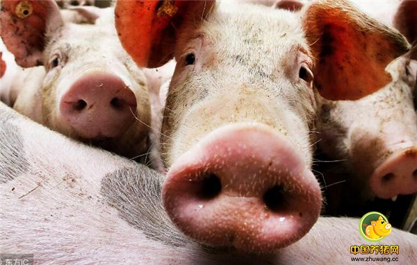 """目前理论状态""""ET大脑""""的目标是将每年生猪的产量提升到3头,死亡淘汰率降低3%左右,这相比普通养殖户多了不少保障,特别是有些养殖户经验不平均,无法辨别母猪是顺产还是突发状况。"""