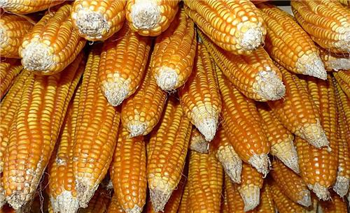 2018年05月22日全国玉米价格行情走势汇总