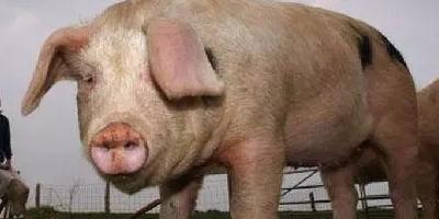 动真格!农业农村部:加大屠宰行业监管力度、引导养户安排生产,促进产销平衡!