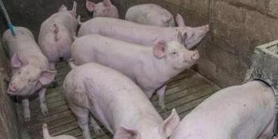 一个东北养猪人,自费一万元去南方猪市,得出这样的涨价担忧...