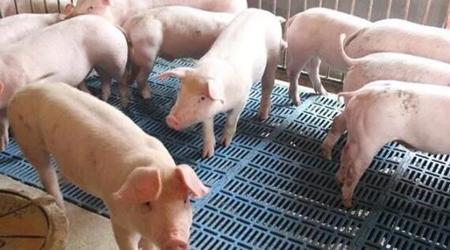"""猪价连涨不停,全国""""一片红""""时代即将到来?"""