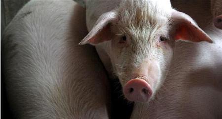 董广林:猪业面临洗牌,小散户、规模场谁最先倒下?