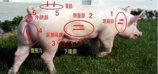 快来瞧瞧国外的有机猪是什么样的!