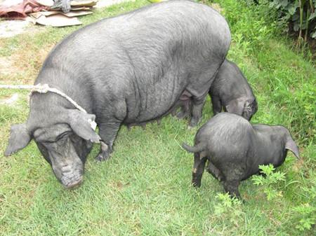 若人为干预导致猪价5-7月出现趋势性上涨,长期看是祸不是福!