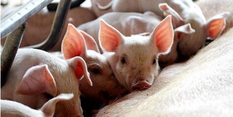 猪价上涨区域再度扩大!养户在兴奋的同时必须提防这两点