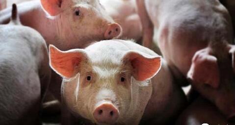 猪价涨再加上天气利好,今天双喜临门?