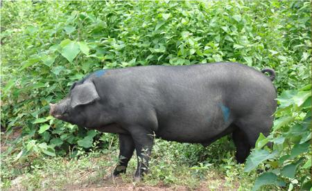 2018猪价下行年,央视建议养母猪?