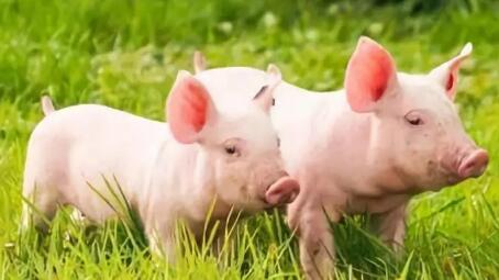 12中小方法,轻松挑选出优质的小仔猪!