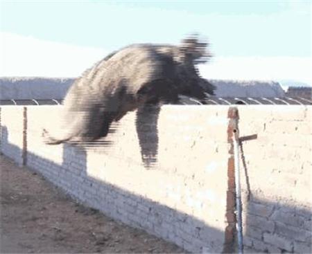 猪界泥石流:能翻墙跨栏、吃百草的猪,你见过吗?