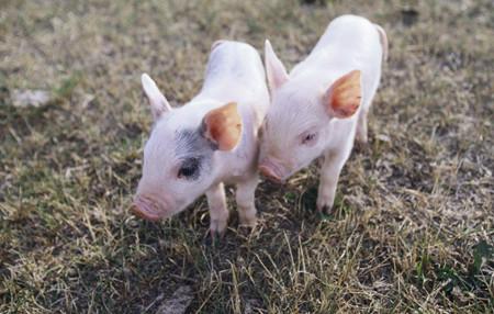 2018年仍将出栏商品肉猪2200万头!看温氏原计划……