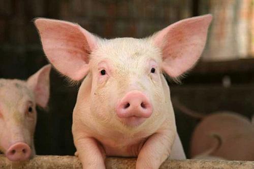 三季度猪价将季节性小幅回升?后期市场走势判断……