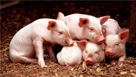 2018年05月24日(15至19公斤)仔猪价格行情走势