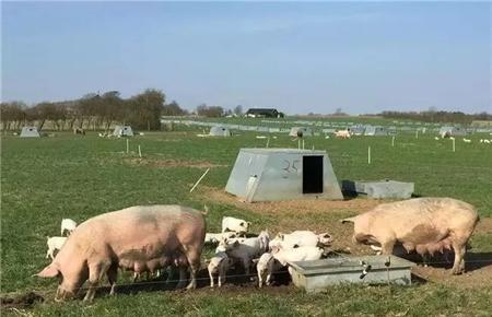 一生只能用一次抗生素!养猪王国丹麦是这样养有机猪的?!