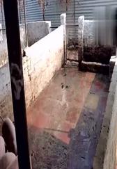 乡村的养猪场,设备非常简易,但是非常干净!