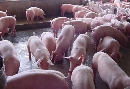 猪场出现的7种病危,养猪人要掌握这些救命方法!