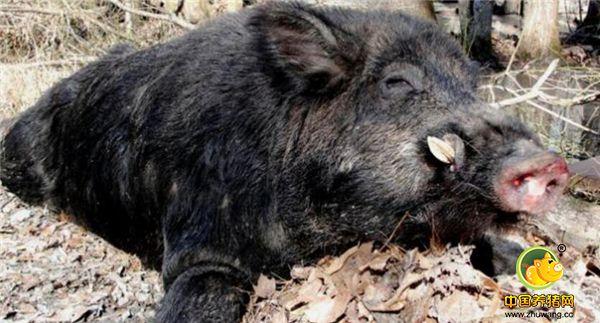 野猪肉虽好吃,但野猪来了真抓得住吗?抓野猪也是需要套路的!