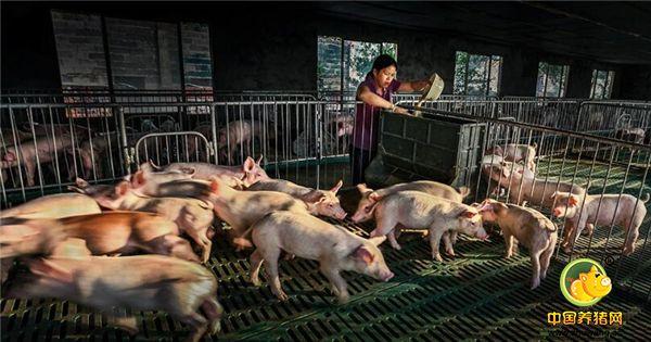 仔猪断脐带,需要注意这些事项!养殖户都知道吗?