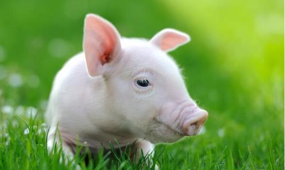 水对猪体有何作用?正常情况下猪需要多少水分?