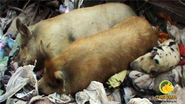 七旬大爷胡同养猪50余年,过道臭气熏天,邻居们苦不堪言