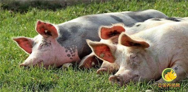 由于猪价持续下跌,目前对于小型养殖户遇到的问题是:前来收猪的经纪人也越来越少,有时一连打了三四个电话才约来一位猪经纪。