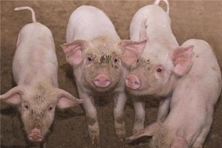 猪价上涨之际,小散卖20头生猪能赚多少钱?