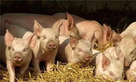 2018年05月25日(15至19公斤)仔猪价格行情走势