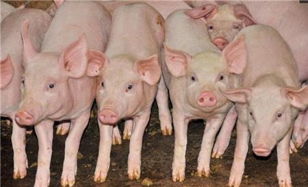 2018年05月25日(20至30公斤)仔猪价格行情走势