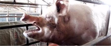 夏季来临,猪最怕什么?疫病?不吃食?炎热?!