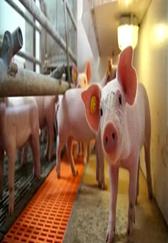 国外智能化养猪场,这样的养猪环境你愿意来养猪吗