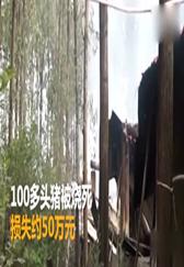安徽 养猪场突发大火 百头二师兄成烤猪!!