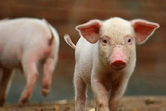 """猪价疯狂上涨,养猪人可以""""为所欲为""""了?"""