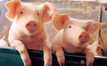 猪价一路飙升,涨至成本线指日可待?
