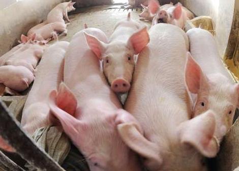 """猪市洞察:反转快,市场猪源出栏量增加,猪价上涨""""遇冷""""?"""