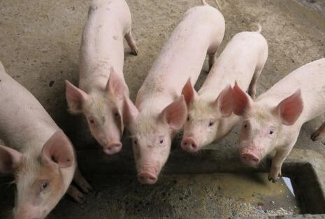 温氏建议取消散养户、又禁止进口猪杂碎,养殖户怎么看?