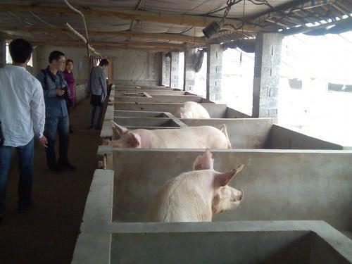 猪价涨势迅猛,一线养猪人却说这是虚的!为什么?