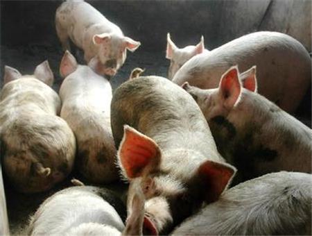 猪价上涨不彻底!建议养殖户见好就收操作为佳!